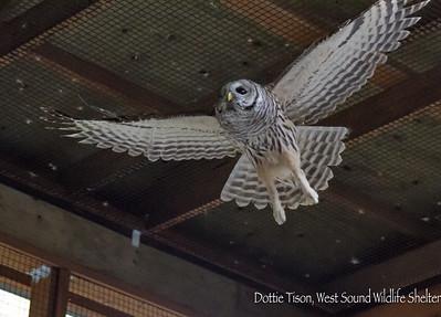 Barred Owl Adventure