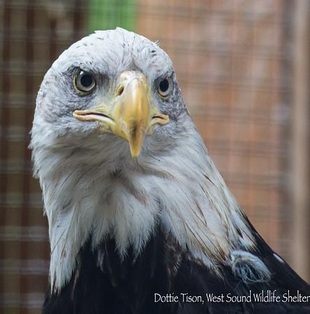Eagle Beak repair