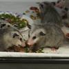 Opossum babies eating 2016