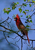 Official state bird of West Virginia the Northern Cardinal (male)