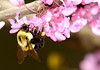 Bumblebee on Redbud blossoms.