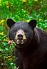 Official state animal of West Virginia the Black Bear.