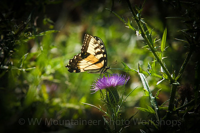 Butterfly - Rainelle West Virginia