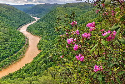 New River Gorge Rhododendrons