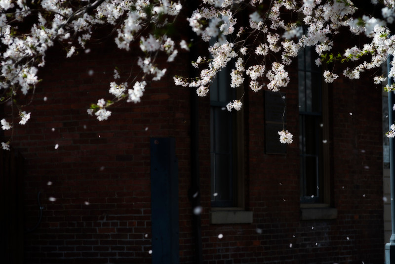 White dogwood blooms in front of old rail road station -  to purchase contact Dan Friend DFriend150@gmail.com
