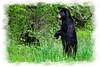 Black Bear West Virginia state animal