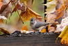 Titmouse with seed in the beak