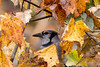 Blue Jay in the leaves