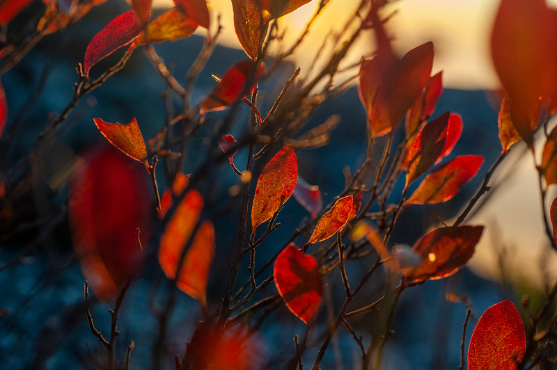 Blueberry leave in the morning sun
