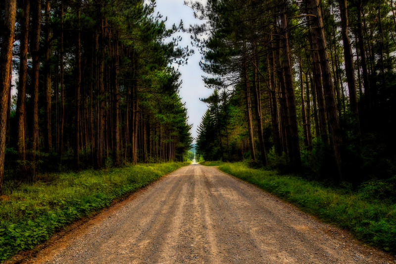 Straight road through pine forest