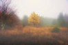 "Yellow leaves of tree in fog at Dolly Sods<br /> <br /> to purchase - <a href=""http://dan-friend.artistwebsites.com/featured/yellow-leaves-of-tree-in-fog-at-dolly-sods-dan-friend.html"">http://dan-friend.artistwebsites.com/featured/yellow-leaves-of-tree-in-fog-at-dolly-sods-dan-friend.html</a>                                                             .............................................pixel paintography"