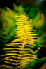 Yellow fern turning color in fall ...........................................Prints or digital files can be purchased by e mailing DFriend150@gmail.com