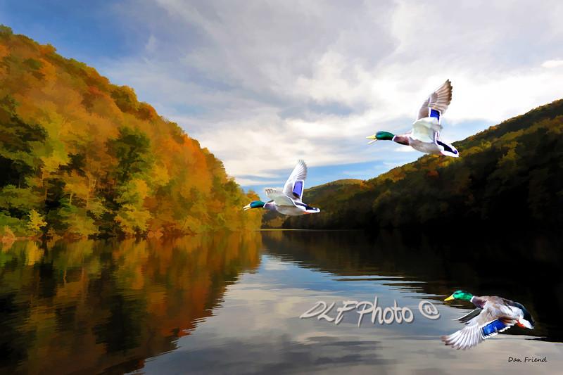 "Mallard ducks in flight fall on lake<br /> <br /> to purchase -  <a href=""http://dan-friend.artistwebsites.com/featured/mallard-ducks-in-flight-dan-friend.html"">http://dan-friend.artistwebsites.com/featured/mallard-ducks-in-flight-dan-friend.html</a>                                                             .............................................pixel paintography"