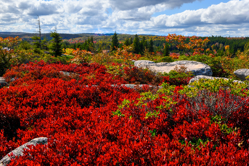 Blueberries, huckleberries, and other low-lying plants change their leaves to a brilliant red color