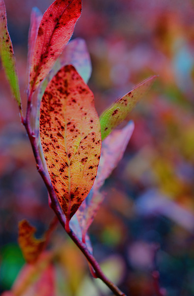 Burnt red leaf ...........................................Prints or digital files can be purchased by e mailing DFriend150@gmail.com