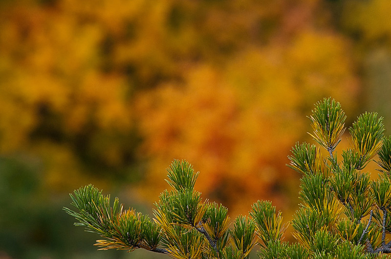 Pine branch in fall on top of mountain ...........................................Prints or digital files can be purchased by e mailing DFriend150@gmail.com