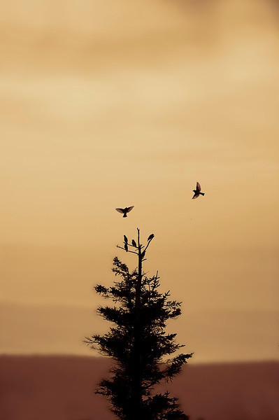 """birds flying and roosting in tree Dolly Sods<br /> <br /> to purchase - <a href=""""http://dan-friend.artistwebsites.com/featured/birds-flying-and-landing-in-tree-dolly-sods-dan-friend.html"""">http://dan-friend.artistwebsites.com/featured/birds-flying-and-landing-in-tree-dolly-sods-dan-friend.html</a>                                                             .............................................pixel paintography"""