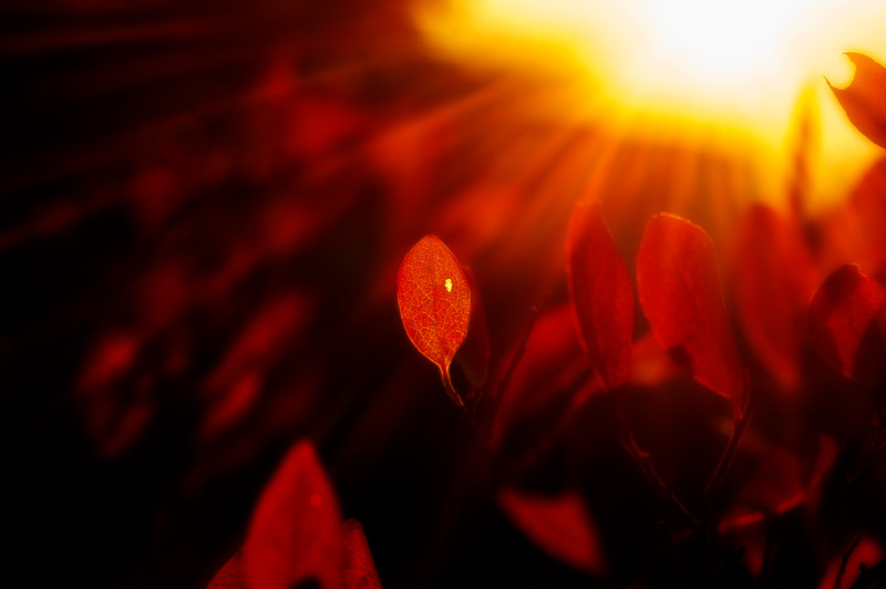 Lone red leave