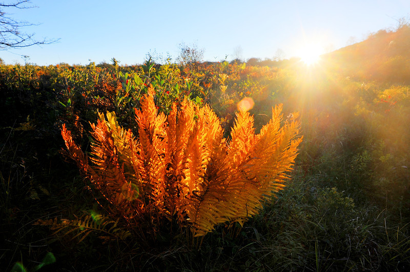 Golden colors of fall ferns Canaan Valley