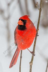 Northiern Cardinal