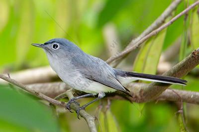 Bluer-gray Gnatcatcher