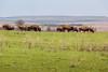 OK-Tallgrass Prairie Preserve-BISON HERD