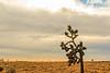 CA-Joshua Tree National Park-Joshua tree
