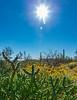 ARIZONA-Black City Canyon-buckhorn cholla cactus