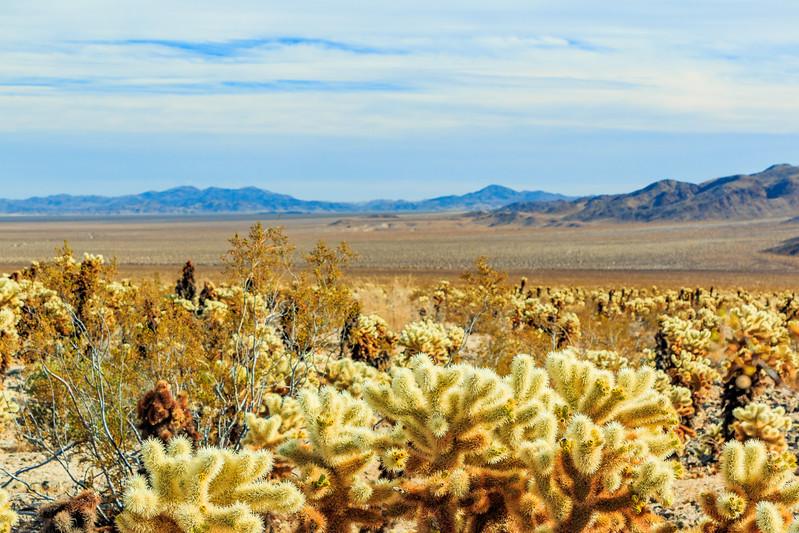 CA-Joshua Tree National Park-Cholla Cactus Garden
