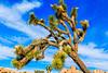 CA-Joshua Tree National Park-Wall Street Mine trail-Joshua tree