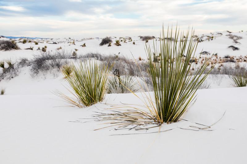 NM-White Sands National Monument-Little Bluestem