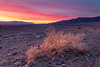 California-Death Valley National Park-Beatty Junction sunrise lighting up tumbleweed/Russian Thistle