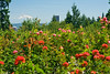 OR-PORTLAND-ROSE GARDEN-MT HOOD