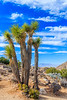 CA-Joshua Tree National Park-Keys View-Joshua trees