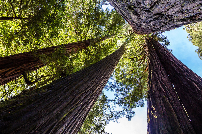 CA-HUMBOLT REDWOODS STATE PARK-AVENUE OF THE GIANTS