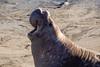 CA-SAN SIMEON-PIEDRAS BLANCAS-ELEPHANT SEALS