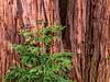 California-Saratoga-Hokone Gardens
