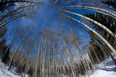 A fish-eye lens captures an aspen grove in winter.  I looked through the lens of the camera and i saw an eye - with aspens forming an iris.