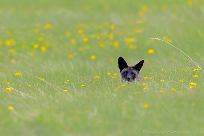 A dark morph of the American Red Fox is on the hunt for her kits - and gives me a passing glance as she mouses in dandelion fields.  Near Jackson, Wyoming.