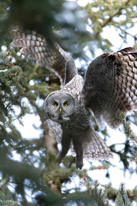 A Great Grey Owl focuses on my presence as he abandons his tree perch in deep December frost and cold, Jackson, WY.  These owls amaze both in their silence of presence and their dexterity as they easily maneuver through the dense Douglas Fir canopy in search of food.