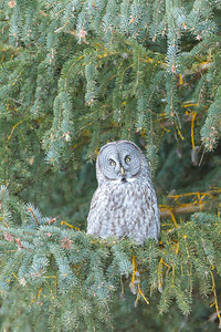 "In deep December cold, this Grey Owl turns his head to listen to potential prey, hundreds of feet away.  These owls incorporate parts of their facial ""dish"" to capture sounds of prey."