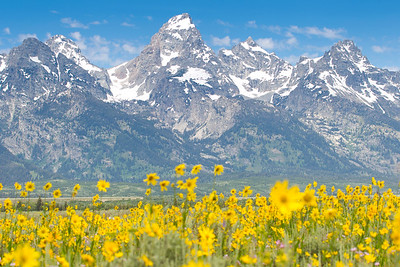 The Grand Teton on an early July flower show.  As someone who has reached the summit (the hard way) it's always inspiring to look at it and remember what the view looks like from there.