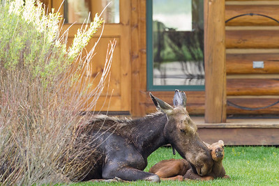 Welcome home!  This newborn moose calf and its mom find solace in a front yard.  Near Jackson, WY.