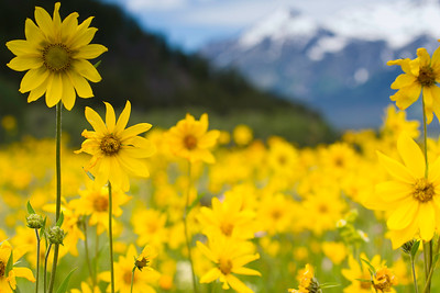 Mountain sunflowers in July bloom, Blacktail Butte