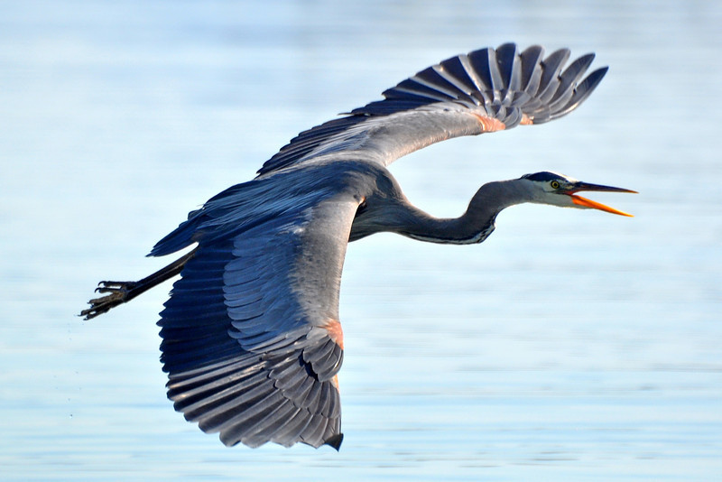 Blue_Heron_cr_resize