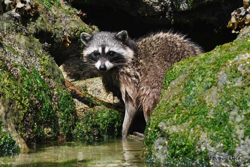 Raccoon (Procyon lotor)<br /> Octopus Island, British Columbia, Canada<br /> So often our only reference for these masked animals is the behavior we are witness to in urban areas. We have a family in our own backyard and at times it can be a bit trying.   I think that's what made watching this small group foraging along the waters edge, in a natural environment, so wonderful to see.