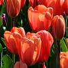 tulip3_SQUARE_resize