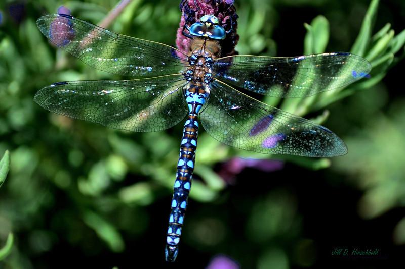 368_LavenderDragon