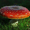 Victoria, British Columbia, Canada<br /> Amanita muscaria is commonly known as fly agaric or fly amanita.  Ask any child what a toadstool looks like in stories of magic and fairies and this would be it.