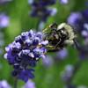 439_LavenderBee1
